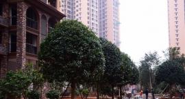 娄底公园添新绿!又一批珍贵大树运抵众一·桂府!